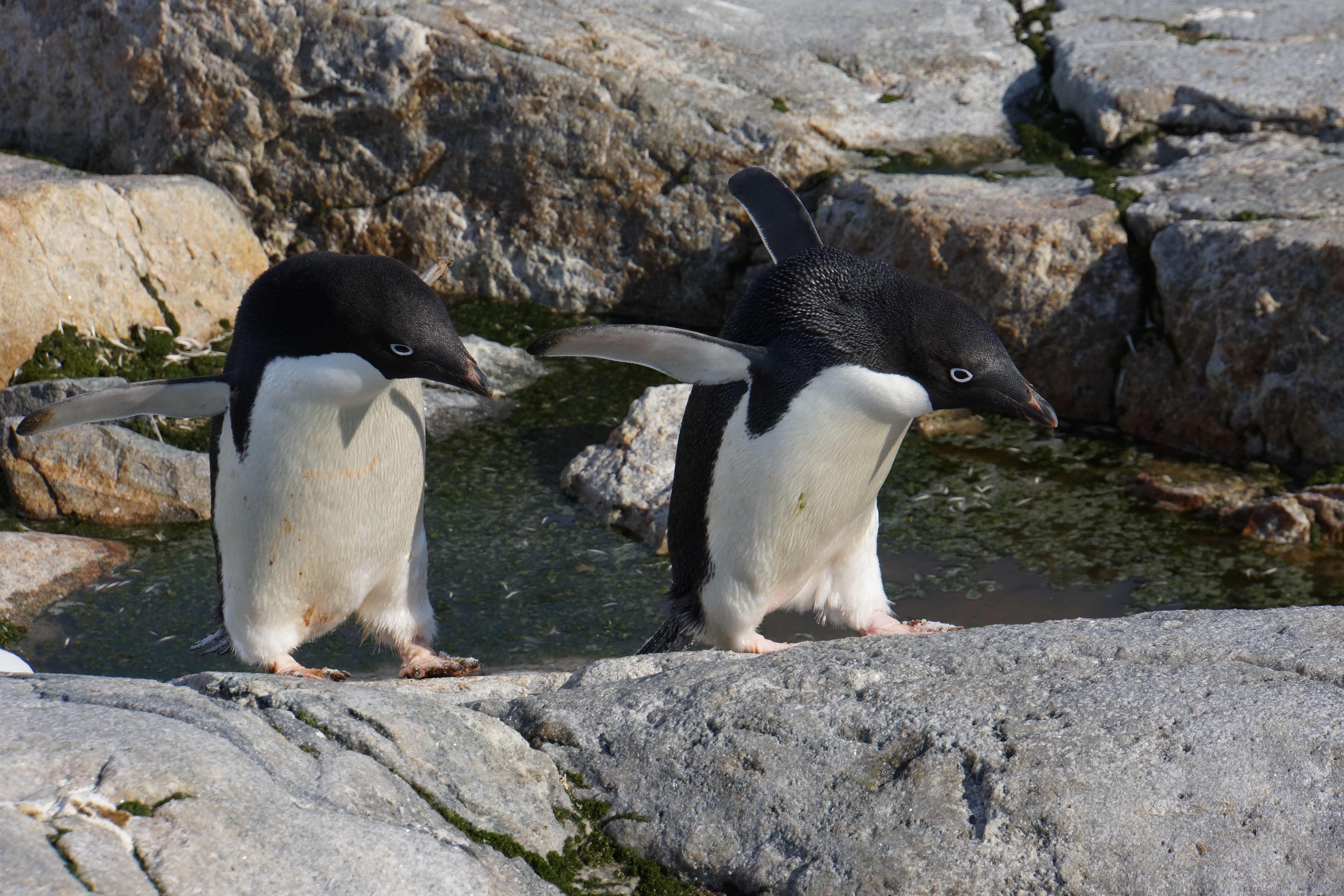 pair of penguins